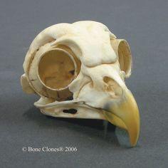Bone Clones® Barred Owl Skull