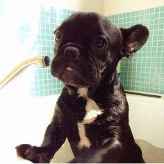 'Bath Time', French Bulldog.