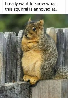 I really want to know what this squirrel is annoyed at! Funny image of angry squirrel with arms crossed. Funny Animal Memes, Funny Animal Videos, Cute Funny Animals, Funny Animal Pictures, Cute Baby Animals, Funny Cute, Animals And Pets, Cute Dogs, Hilarious Memes