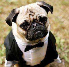 The dogs tuxedo!