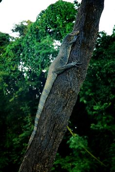 Khao Lak quality excursions with Geo Expedition Khao Lak Khao Sok National Park, National Parks, Phuket, Monitor Lizard, Khao Lak, Strand, Evergreen, Things To Do, Thailand
