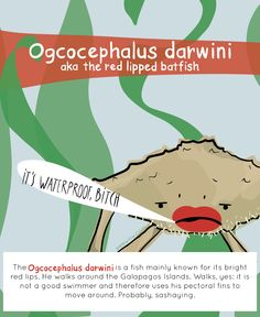 EEEW #001: OGCOCEPHALUS DARWINI (aka the red lipped batfish)