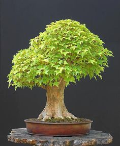 Beautiful Maple - reminds me of how I used to draw trees as a small child!