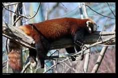 Red Panda by grkavac