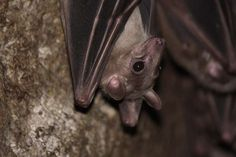 Cool Animals: Bat Midwives | The Creation Club | A Place for Biblical Creationists to Share and Learn