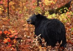 Black Bear Adults and Yearlings - Deb Campbell Photography American Black Bear, Big Bear, Great Smoky Mountains, Wildlife, Animals, Bears, Fall, Colors, Photography