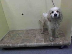 JEZRO - ID#A1005774  I am an unaltered male, white Cocker Spaniel mix.  The shelter staff think I am about 5 years old.  I weigh 21 po...