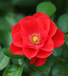 Flower Carpet Scarlet  A flamboyantly colored groundcover rose, 'Flower Carpet Scarlet' will fill your landscape with color all summer and autumn thanks to its clusters of bright scarlet-red blooms.    Size: To 3 feet tall    Zones: 5-11