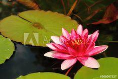 Lotus water lily with swimming leaf in water – kaufen Sie dieses Foto und finden Sie ähnliche Bilder auf Adobe Stock | Adobe Stock Lotus, Lily, Leaves, Water, Plants, Photography, Image, Pictures, Gripe Water