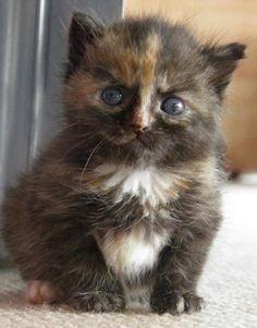 #Cats  #Cat  #Kittens  #Kitten  #Kitty  #Pets  #Pet  #Meow  #Moe  #CuteCats  #CuteCat #CuteKittens #CuteKitten #MeowMoe      She looks like a brownie ...   http://www.meowmoe.com/7480/