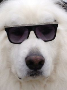 Great Pyrenees ~ Blaaahahaha...our Great Pyr would NEVER allow this!!