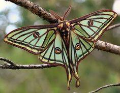 Spanish Moon Moth (Graellsia isabellae) via Insects Galore - wow!