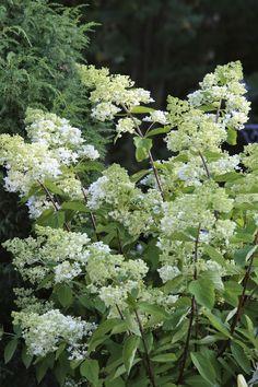 Versoja Vaahteramäeltä: Hydrangea paniculata ´Grandiflora`, syyshortensia Hydrangea Paniculata Grandiflora, Herbs, Herb, Medicinal Plants
