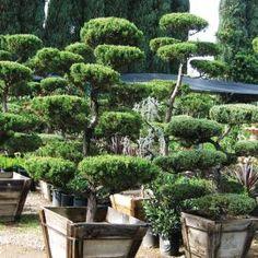 Juniperus chin. 'Kaizuka'  Acheter Vos Arbres chez le spécialiste du Jardin Zen français . ART Garden www.art-garden.fr