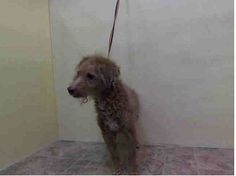 TO BE DESTROYED - SATURDAY - 3/29/14, Manhattan Center   TUNTUN - A0994018  *** DOH HOLD 3/15/14 ***  MALE, BROWN, POODLE STND MIX, 8 yrs STRAY - ONHOLDHERE, HOLD FOR DOH-HB Reason ABANDON  Intake condition INJ MINOR Intake Date 03/15/2014, From NY 10454, DueOut Date 03/18/2014,  https://www.facebook.com/photo.php?fbid=772644939415054&set=a.617942388218644.1073741870.152876678058553&type=3&theater