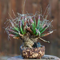"""Leuchtenbergia principis, 5"""" pot.  Keith Kitoi Taylor"""