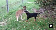 Love and friendship between kangaroo and dog ! #rottweiler