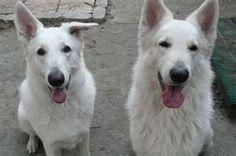 albino german shepherd