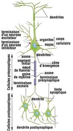 Nerf Spinal, Nerf Facial, Herbs, Body, French, Peripheral Nervous System, Cranial Nerves, Nerve Cells
