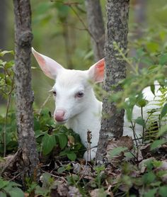 This is a beautiful picture of an albino fawn in it's natural habitat. Truly all God's creation.