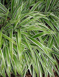 Carex siderosticta 'Variegata'