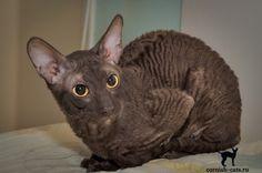 Cornish Rex, Cat Breeds, Pretty Little, Cats, Animals, Cat, Gatos, Animales, Animaux