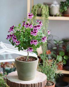 "165 gilla-markeringar, 13 kommentarer - 미묘 (@mimyo444) på Instagram: ""#랜디  머리가 무거워 휘청휘청  꽃 다피면 찍으려했는데 넘 귀여워서📸 . . #베란다가드닝#베란다정원#토분#취미#가드닝 #gardening#tree#flower#plant…"""