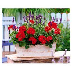 red geranium, purple lavandula
