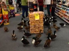Ducks Take A Trip To The Pharmacy  ... from PetsLady.com ... The FUN site for Animal Lovers