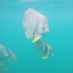 These little guys were clearly looking for a handout. Allegedly they're called bat fish #fish #greatbarrierreef #australia