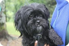 Conway, AR - Shih Tzu. Meet Missy, a dog for adoption. http://www.adoptapet.com/pet/10870359-conway-arkansas-shih-tzu