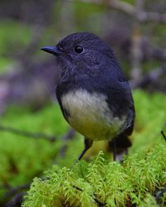 TWe're so lucky in New Zealand to have such incredible wildlife in #southlandnz Here's an adorable robin/toutouwai by Matt S.  #NZ_birds #mysouthland #robin