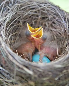 Baby birds in their nest