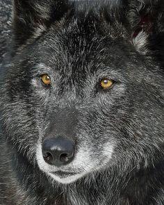 Black Wolf   -   Calgary zoo, Calgary, Canada