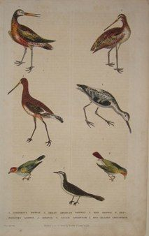 "martyn birds englisg 1785 hand coloured engraving  10 x 14"" $125 - 3"