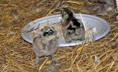 Et billed mere af de to små dun-bolde I hønsegården.