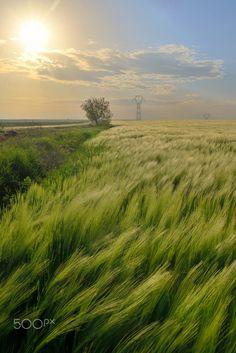 Beautiful sunset over green rye field