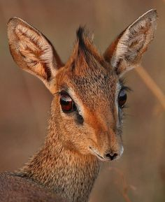 Kirk's dik-dik, Tsavo West National Park, Kenya.