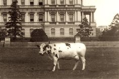 President Taft's cow Pauline Wayne poses in front of the State, War and Navy Building. Pauline, the last cow to graze on the White House lawn, provided milk and butter for the First Family.
