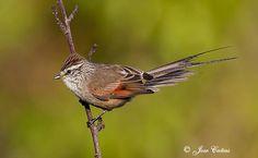 Tijeral - AVES DE CHILE San Clemente, Bird Watching, Flocking, Butterflies, Flora, Projects, Little Birds, Animals, Santiago