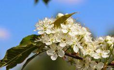 Versoja Vaahteramäeltä White Flowers, Plants, Beauty, Planters, Beauty Illustration, Plant, Planting