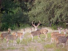 Axis Deer, a common site in Concan Texas