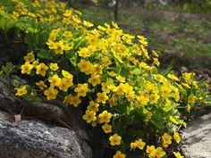 Waldsteinia ternata ©Susanna
