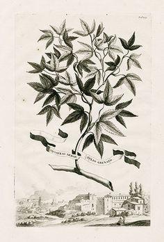 Munting Botanical Prints 1702