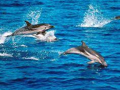 gestreepte dolfijn