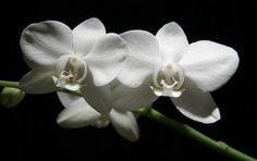 Orkide Bakımının Tüyoları