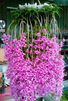 Orchids are symbiotic with palm trees as the host. Orchideen sind symbiotisch mit Palmen als Wirt. Unusual Flowers, Unusual Plants, Rare Flowers, Exotic Plants, Cool Plants, Amazing Flowers, Beautiful Flowers, Beautiful Beautiful, Pink Flowers