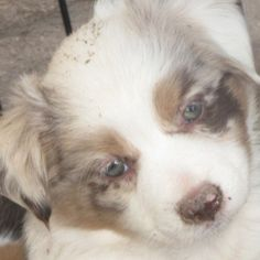 Throwback Thursday of little Arya! It's funny how her eyes went from blue to amber! But you can't mistake that pink dot on her nose! I love that dot!  #miniaussie #aussiesofinstagram #redmerle #dogsofinstagram #petstagram  #australianshepherd  #dogoftheday #doglover #dogscorner #dog_features #aplacetolovedogs #dogfeaturing #dailydogfeatures #sendadogphoto #lacyandpaws  #dogsofinstaworld #petsofinstaworld #bestwoof #petfancy #animaladdicts #excellent_dogs #animalsco #pawpack #happy_pet…