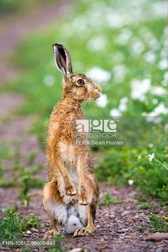 Stock Photo: European Hare Lepus europaeus adult, alert, standing on hind legs, on track in farmland, County Durham, England, june.
