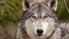 Wolves have been intertwined with humans since time immemorial. How much do you know about this important animal?